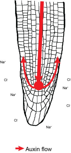 root auxin flow normal