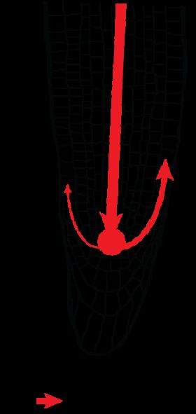 root auxin flow salt gradient