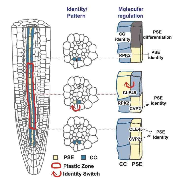 protophloem plastic zone schematics