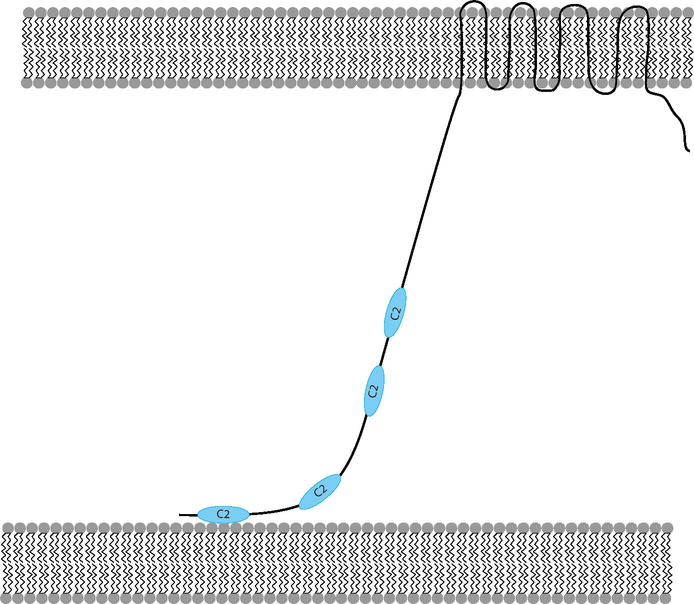tethered membrane low Ca2+